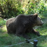 Braunbär im Bärenpark Bad Rippoldsau