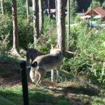 Wolf im Bärenpark Bad Rippoldsau